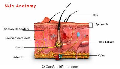 皮膚, 解剖学,