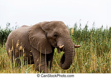 African Elephant in Etosha national Park - Portrait of...