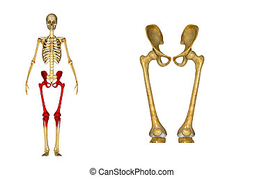 Hip with Femur - The hip region is located lateral and...