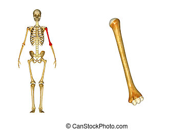 Humerus_T Left - The humerus is a long bone in the arm or...