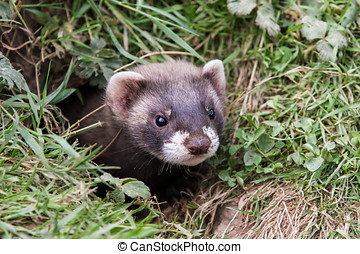 Polecat Kit - Polecat kit head looking out of a hole