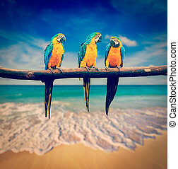 Three parrots Blue-and-Yellow Macaw Ara ararauna - Vintage...