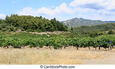 Vineyards on the slopes. Sithonia peninsula. Northern...