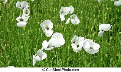 White poppy field