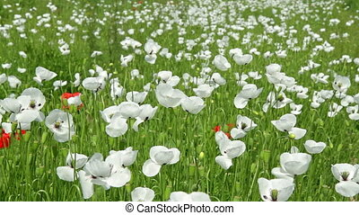 White poppy flowers in the field
