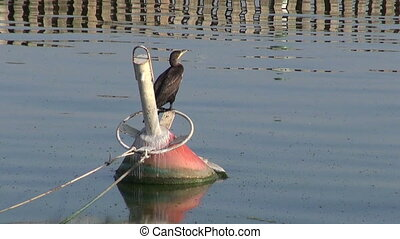 bird cormorant Phalacrocorax carbo - bird cormorant...