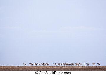 Chalbi desert cameltrain crossing