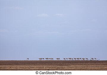 Chalbi desert camel crossing