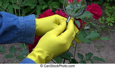 with magnifier looking fresh rose - gardener agronomist with...