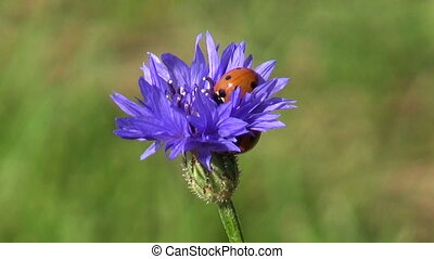 ladybird on cornflower blossom - two beautiful insect...