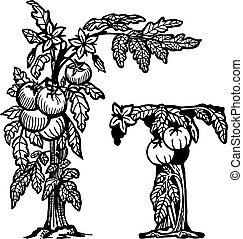 tomato brunch litera T - Bush tomatoes, flowers, berries and...