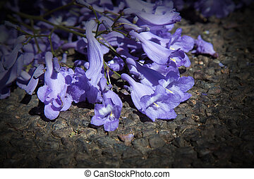 Macro of small purple jacaranda flowers lying on tar road -...