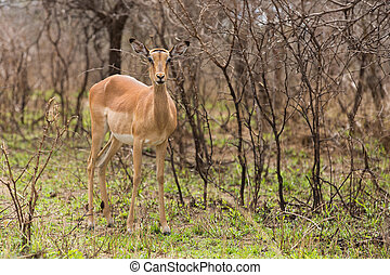 female impala in the bush