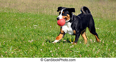 Appenzell dog - Appenzell cattle dog running on the green...