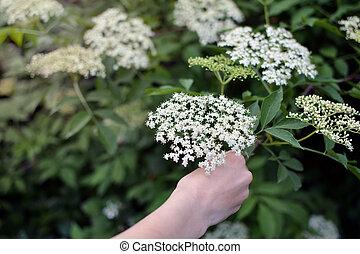 Hand picking sambucus - Lovley white sambucus being picked...