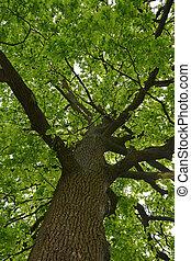 Cielna, Dąb, drzewo,