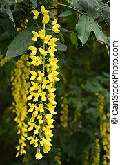 Blossoming acacia tree