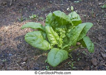 jardín, espinaca, planta,