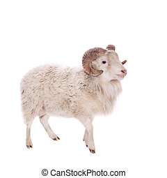 Portrait Of ram On White - Portrait Of ram Isolated On...