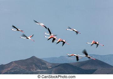 Turkana flamingoes  - Turkana flamingoes