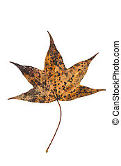 Sweetgum tree leaf on white - Leaf of american sweetgum in...