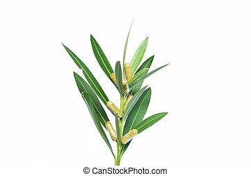 capsulas en la planta - capsulas naturales echas a base de...