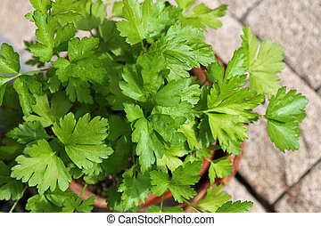 Flat-leaved Parsley in a pot