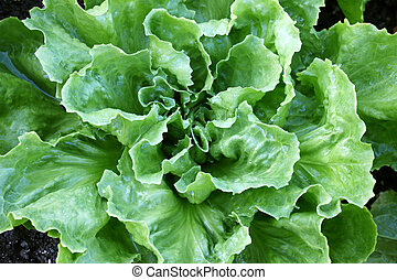 Broad-leaved Endive Salad - Home grown Broad-leaved Endive...