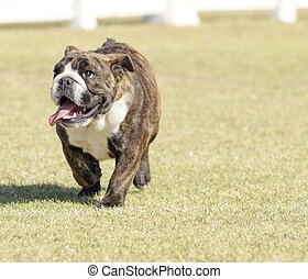 English Bulldog - A small, young, beautiful, fawn brown...
