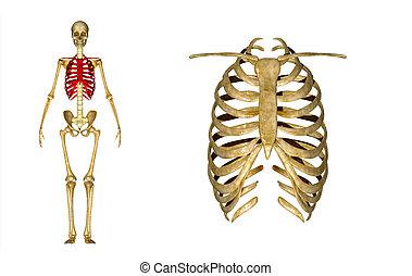 Skeleton of thorax