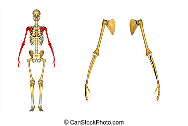 Skeleton hands - A hand is a prehensile, multi-fingered...