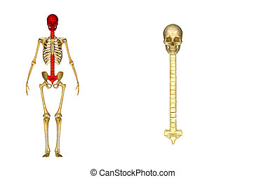 Back bone with Skull and Scrum - The internal skeleton that...