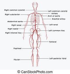 Arteries (from Greek...