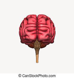 Brain front