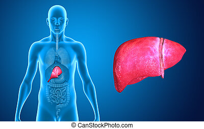 liver - The liver is a vital organ of the digestive system...