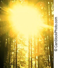pine tree background with sunlight