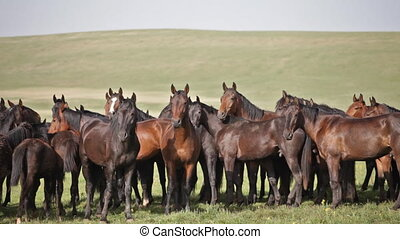 Herd of horses on a summer pasture. Caucasus, Russia