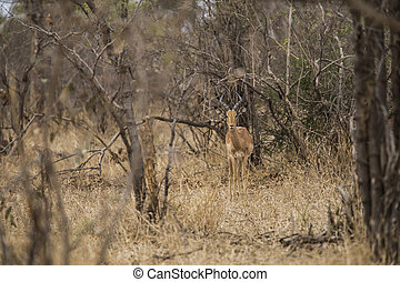 impala antelope in the bushes South Africa