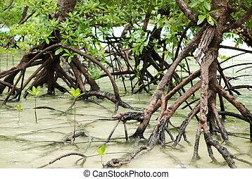 Mangroves - Mangrove plants growing in wetlands. A...