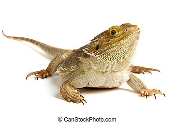 Bearded Dragon on white background lizard isolated on white...