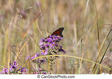 Monarch Butterfly on New England As - Monarch Butterfly...