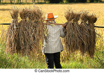 Farmer harvesting rice in field