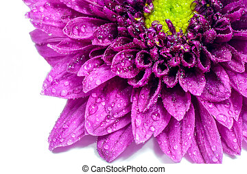 Purple chrysanthemum - Close up of Purple chrysanthemum...