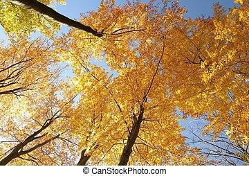 Autumn beech trees against the blue sky.
