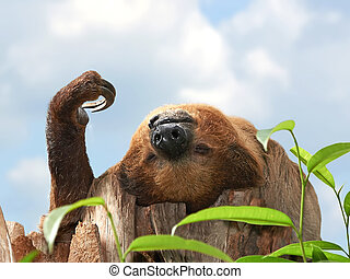 Two-toed Sloth (choloepus didactylus) - Two-toed Sloth...
