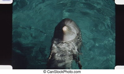 Dolphin. (Vintage 1970s 16mm film) - Closeup of dolphin from...