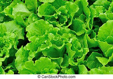 green lettuce plants grow in vegetable garden