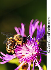 Honey bee on Knapweed - Close up of honey bee on knapweed...
