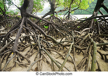 Mangroves - Mangrove plants growing in wetlands. A...