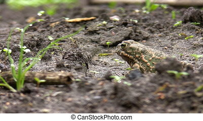 Toad jumps out of view - Single European common toad is...